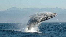 La Corea del Sud non aprirà la caccia alle balene per scopi scientifici, il Giappone continua